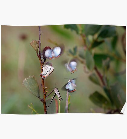 Jalmenus evagoras Common Imperial Blue butterfly Poster
