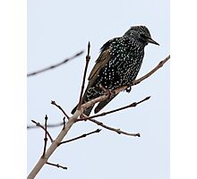 European Starling Photographic Print