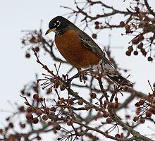 Beautiful Robin by lloydsjourney