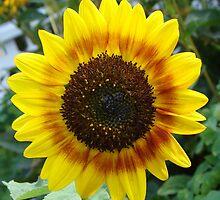 Sunflower by lauriedal
