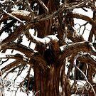 Winter Tree by CarolM
