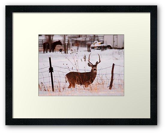 Buck Deer on Farm by Ryan Houston