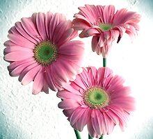 Spot Light On Gerbera Pink Daisies by daphsam