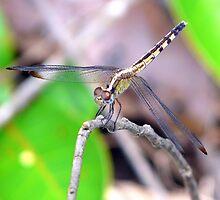 Dragonfly from Brazilian Savannah 2 by jcpatricio
