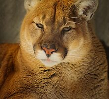 Portrait of a Mountain Lion by Roger  Swieringa