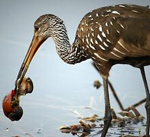 Limpkin Eating Breakfast by jrhall19