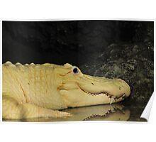 White Alligator Poster