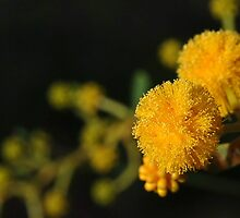 Australian Wattle by Dusker