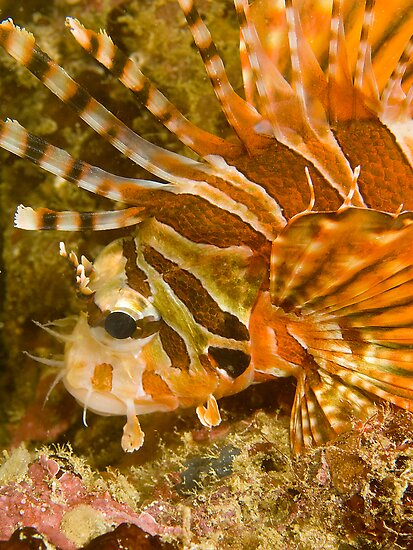 Lionfish by Dan Sweeney