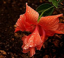 A Hibiscus - a new addition to the garden.........! by Roy  Massicks