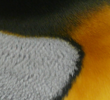 King Penguin Feathers Sticker