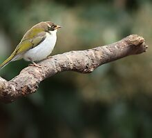 white naped honey eater  by Steve Scully
