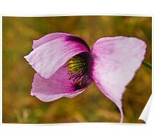 Opium poppy -PAPAVER SOMNIFERUM Poster