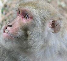 monkey. dharamsala, india by tim buckley | bodhiimages