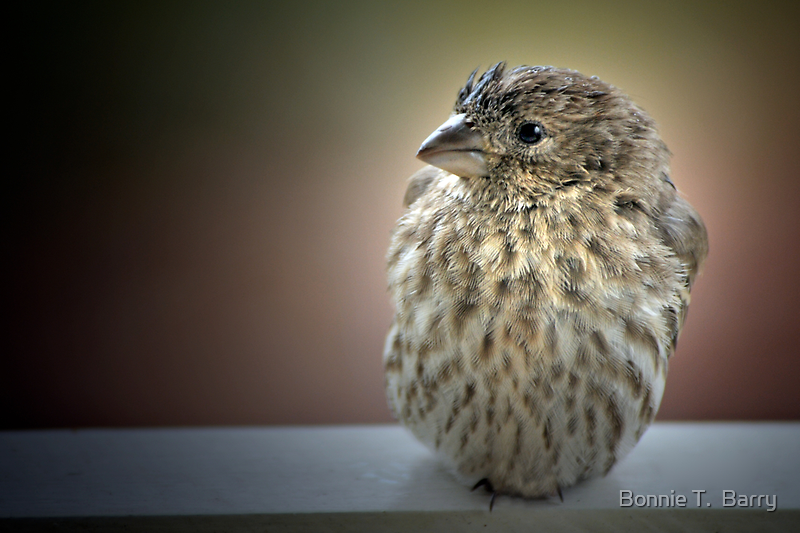 Roly Poly Finch by Bonnie T.  Barry