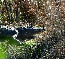 ALLIGATOR 4 by H & B Wildlife  Nature Photography