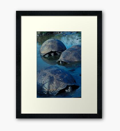 Galapagos Tortoises in Pond Framed Print