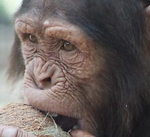 Coconut Chimp by sjmphotos