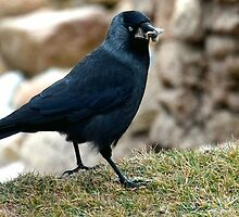 Juvenile Jackdaw by Photography by Mathilde