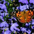 Butterfly On Purple by CarolM