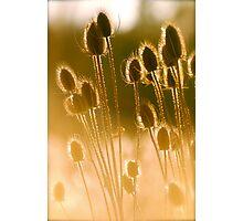 Sunlit Teasel Photographic Print