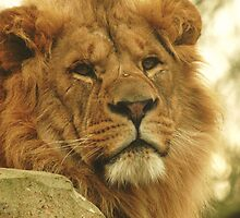 African Lion by Franco De Luca Calce