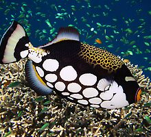 CLOWN TRIGGERFISH - MALDIVES by Michael Sheridan
