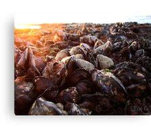 Shells of the sea Canvas Print