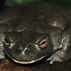 Not Even a Mother:  Colorado River Toad by Golden Richard
