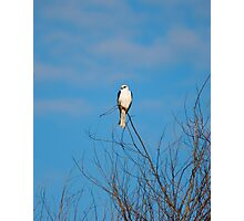 White Tailed Kite II Photographic Print