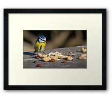 Blue tit feeding Framed Print