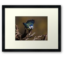Blue tit about to fly off Framed Print