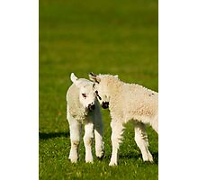 Two Lambs Head Butting Photographic Print