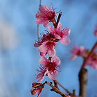 Fruit Tree With Pink Blossom by jojobob