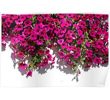 Fuchsia Flowers Against White Wall   Poster