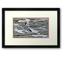 Looking for food in the frozen Rock pools Framed Print