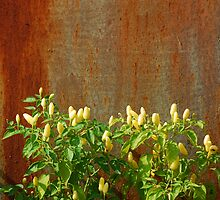 Chilli Plants Against Rusted Metal Door  by jojobob
