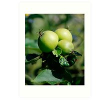 Green Apples on a Tree  Art Print