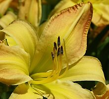Gilded Lily by Monnie Ryan