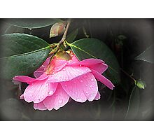 Camelia-Kissed By The Rain Photographic Print