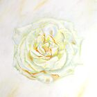 White Rose by witchling