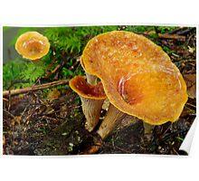 Woolly Chanterelle Mushrooms Poster