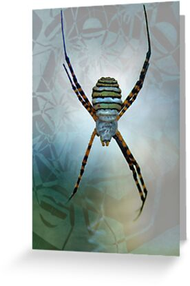 Argiope-spider by jimmy hoffman