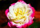 Multi-Coloured Rose by Evita