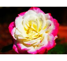 Multi-Coloured Rose Photographic Print