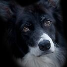 THE BORDER COLLIE by Chris Clark