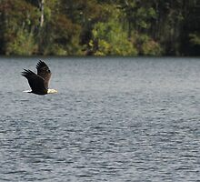 Bald Eagle by Carol Bailey White