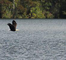 Bald Eagle by Carol Bailey-White