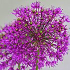 Allium by John Butler
