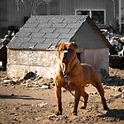 Junk Yard Dog by Zach  Schible